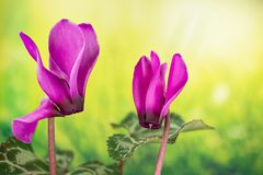 Garden Flowers - Cyclamen. Home and Garden Flowers - Cyclamen Royalty Free Stock Photo