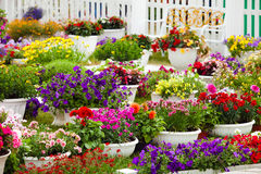 Garden flowers of different colors in pots Royalty Free Stock Photo