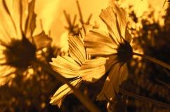 Garden flowers in golden light. Nice garden flowers in golden bright light Royalty Free Stock Images