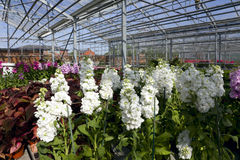 Garden Flowers in Greenhouse. Being grown commercially in large greehouse Stock Photos