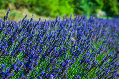 Garden flowers Lavender colorful background Stock Image