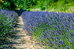 Garden flowers Lavender colorful background Royalty Free Stock Images