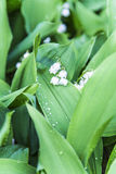 Garden flowers, lily of the valley Stock Images