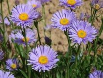 Garden flowers Stock Image