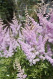 Garden flowers, panicles, up close. Garden flowers, panicles, close up Royalty Free Stock Image