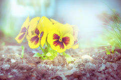 Garden flowers plant with yellow heartsease, toned. Outdoor Royalty Free Stock Photo
