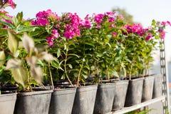 Garden flowers in pots, assortment. Beauty blooming bouquet.  stock image