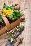 Garden flowers primula in wicker basket Royalty Free Stock Photos