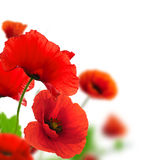 Garden of flowers - red poppies Stock Photos