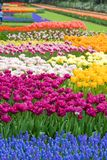 Garden flowers in spring-Keukenhof in royalty free stock image