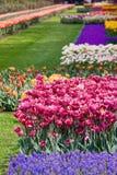 Garden flowers in spring -Keukenhof in Netherlands Stock Photos