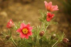 Garden flowers in the spring time. Garden dark pink flowers in the spring time Royalty Free Stock Image