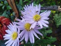 garden Flowers of Sri Lanka stock photo