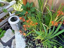 Garden Flowers. Summer garden flowers including hostas, crocosmia, succulents, variegated carpet bugle against wooden fence and wooden pallet with galvanized stock photos