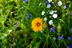 Garden flowers. Summer garden flowers, wild garden at home, colors, background, meadow Royalty Free Stock Photography