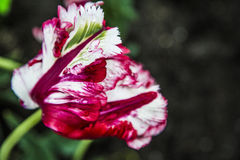 Garden flowers, tulips Royalty Free Stock Photos