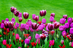 Garden of Flowers and Tulips Royalty Free Stock Photo