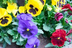 The garden with flowers Viola both yellow, red, purple. And leaf royalty free stock photos