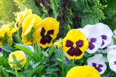 The garden with flowers Viola both yellow, white, purple. And leaf stock images