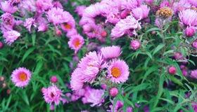 Garden flowers. Violet garden flowers Royalty Free Stock Images