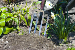 Garden Fork at Work. In the garden preparing for the new season stock images