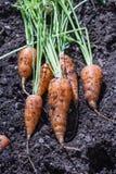 Garden fresh carrots Royalty Free Stock Photo