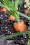 Garden fresh carrots Royalty Free Stock Photography
