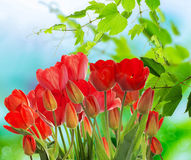 Garden fresh colorful tulips on abstract  background Royalty Free Stock Image