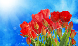 Garden fresh colorful tulips on abstract  background s Royalty Free Stock Images