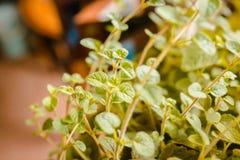 Garden fresh oregano in a home garden royalty free stock images