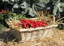 Garden fresh peppers Royalty Free Stock Image