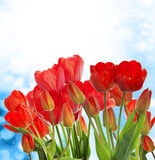 Garden fresh red tulips on abstract  background Stock Images