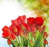 Garden fresh red tulips on abstract  background Royalty Free Stock Image