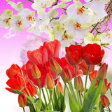 Garden fresh red tulips on abstract  background Royalty Free Stock Photography