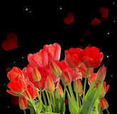 Garden fresh red tulips on black  background Royalty Free Stock Photos