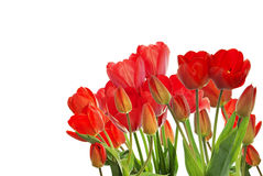 Garden fresh red tulips on white  background Royalty Free Stock Photography
