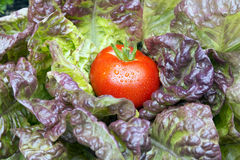 Garden Fresh Tomato. Garden fresh organic tomato resting on purple lettuce Royalty Free Stock Images