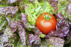 Garden Fresh Tomato. Garden fresh organic tomato resting on purple lettuce Royalty Free Stock Photo