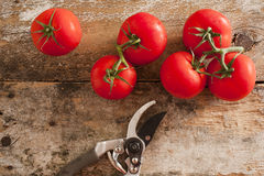 Garden fresh tomatoes with pruning shears Royalty Free Stock Image