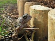 Garden Frog Stock Images