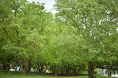 Tree tamarind Stock Photography