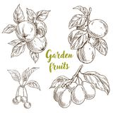 Garden fruits, apples, apricots, cherries, plums. On branches with leaveshand drawn sketch vector illustration Royalty Free Stock Images