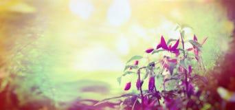 Garden fuchsia flowers on sunshine bokeh background, outdoor, toned, banner. For website stock photo