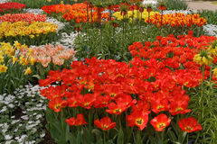 Garden full of colorful flowers, tulips and hyacinths. Horizontal Royalty Free Stock Image