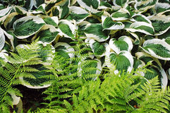 Ferns and hosta plants Stock Images
