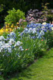 Garden Full of Irises Royalty Free Stock Photo