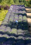 A `Garden full of lavender` arranged by Barbara and Andrzej Olender in Ostrów 40 km from Krakow. stock photo