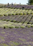 A `Garden full of lavender` arranged by Barbara and Andrzej Olender in Ostrów 40 km from Krakow. The smell and color of lavender. Ostrow, Poland - June 6 stock photos