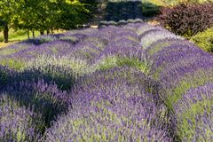 Garden full of lavender in Ostrów 40 km from Krakow. The smell and color of lavender allows visitors to feel like in Provence.  royalty free stock photography