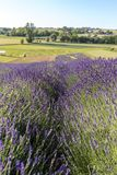 A Garden full of lavender in Ostrów 40 km from Krakow. The smell and color of lavender allows visitors to feel like in Provence stock photos